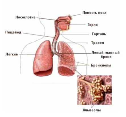 Бронхи - дыхательная система