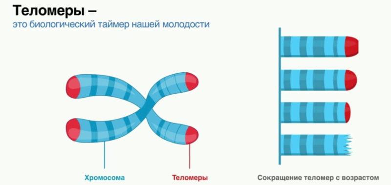 уменьшение теломеров