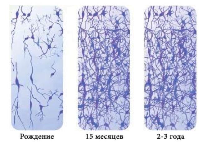 Через два года после рождения в мозге образуется более сложная нейронная сеть, чем у любого взрослого человека - лучший способ адаптации к неизвестному будущему.