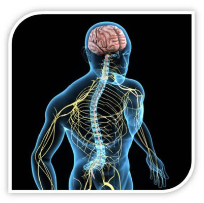 Основные функции нервной системы