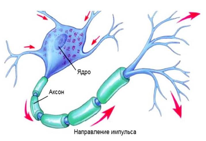 Направление нервного импульса.jpg