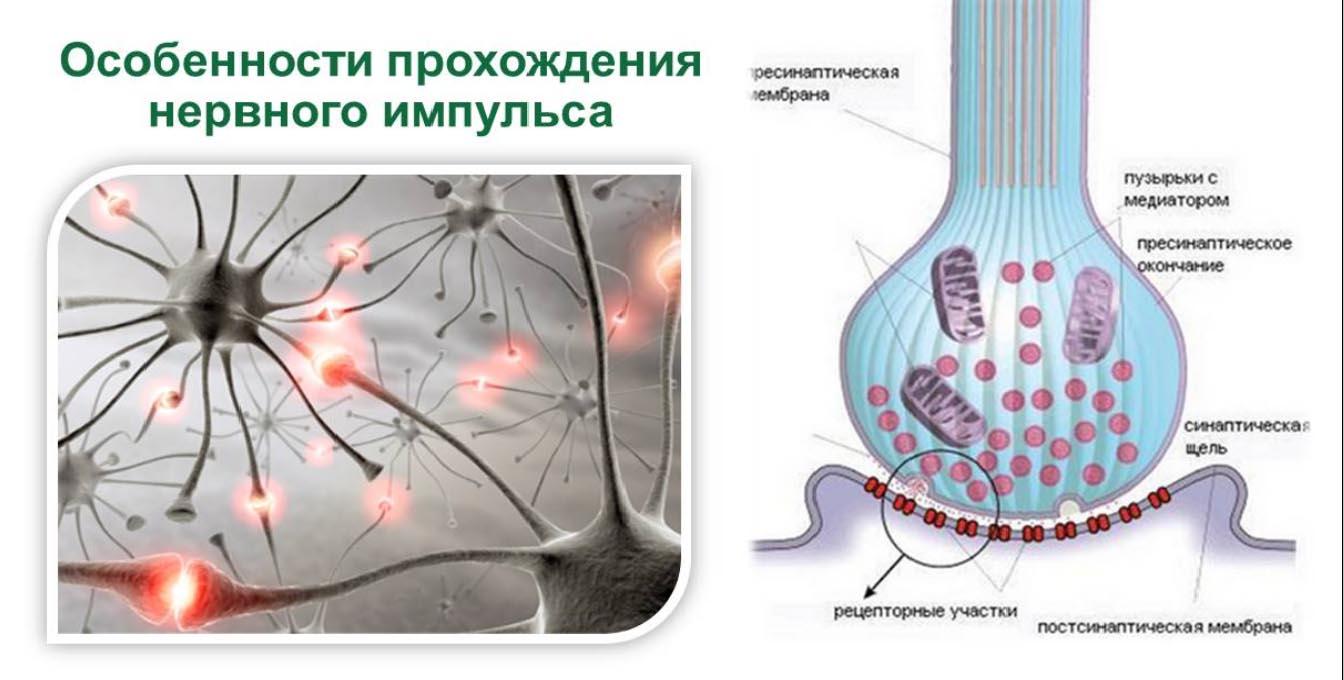 Особенности нервного импульса
